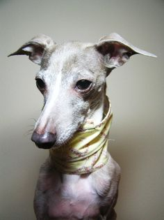 Sweet Pea Italian Greyhound ~Tammy D~ //photo ©