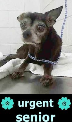 KING (A1711840) I am a black Chihuahua - Smooth Coated. The shelter staff think I am about 13 years old. I was found as a stray and I may be available for adoption on 07/21/2015. — hier: Miami Dade County Animal Services. https://www.facebook.com/urgentdogsofmiami/photos/pb.191859757515102.-2207520000.1437017273./1012015878832815/?type=3&theater