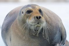 Bearded seal looking gorgeous! #arctic #animals #nature