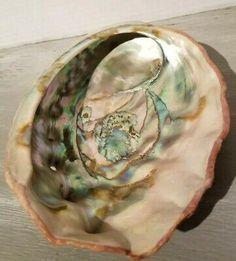 Florida Natural Shells Coral Horse Conch Red Abalone Vintage Estate Collection S Rose Quartz Heart, Rose Quartz Crystal, Amethyst Quartz, Seashell Display, Shell Beach, Quartz Cluster, Mineral Stone, Chakra Stones, Abalone Shell