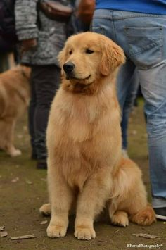 """Find out more relevant information on """"golden pups"""". Cute Baby Dogs, Cute Dogs And Puppies, Doggies, Chien Golden Retriever, Golden Retrievers, Retriever Puppy, Cute Little Animals, Beautiful Dogs, Dog Pictures"""