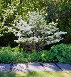 Koreansk blomsterkornell, Cornus kousa (Arkitektens trädgård, Falsterbo)