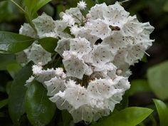 kalmia latifolia | Kalmia latifolia - Mountain Laurel | World of Flowering Plants
