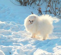Japanese Spitz. 10 Cutest Small White Dog Breeds - Me And ...