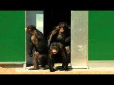 Scimpanzè ritrovano la libertà dopo 30 anni: sorridono e si abbracciano