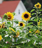 growing sunflowers (in pots too), and how to harvest them.