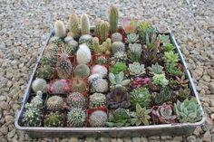 "2"" Succulent & Cactus Mix bulk wholesale wedding Favor gifts at the succulent source - 1"