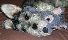 Charlie the Miniature Schnauzer, Look at those Beautiful Eyes!!!