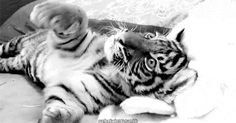 tiger gif tiger cub cub animals cute - picslist.com