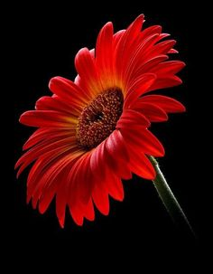 Red Orange Gerbera Daisy on Black Background byThere and Back Again~~ Amazing Flowers, My Flower, Flower Art, Beautiful Flowers, Gerbera Flower, Gerbera Daisy Tattoo, Flower Bouquets, Bridal Bouquets, Beautiful Pictures