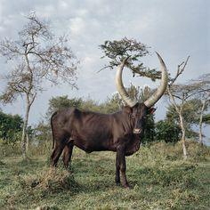 Asiatic Lion, Bull Cow, Cattle, Animal Drawings, Uganda, Taurus, Pet Birds, Westerns, Ranch