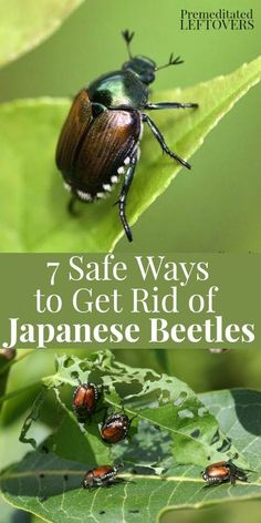 to repel Japanese Beetles? Try these 7 Safe Ways to Get Rid of Japanese Beetles in the Garden to prevent the beetles from eating your plants and trees. Organic gardening tips to protect your plants and deter Japanese beetles from living in your yard. Garden Bugs, Garden Pests, Box Garden, Plant Pests, Garden Care, Garden Fertilizers, Garden Insects, Garden Sheds, Easy Garden