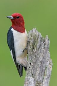 Red Headed Woodpecker!  Finally had my very first one!