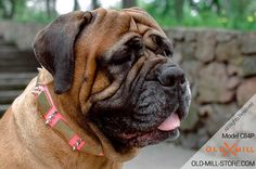 Bullmastiff Pink Leather Dog Collar with Old Massive Plates and Spikes