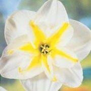 Narcissus 'Lemon Beauty' (Daffodil 'Lemon Beauty') Click image to learn more, add to your lists and get care advice reminders each month.