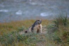 Vanoise - Marmotte aperçue le long de l'Arc au retour de la randonnée du Lac des Sources Inférieures. #marmotte #vanoise #hautemaurienne #alpes #faune #montagne #mountain