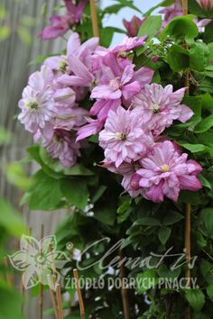 'Innocent Glance' Clematis Vine, Climbing Vines, Garden, Plants, Pink, Cottage, Beautiful, Color, Wisteria