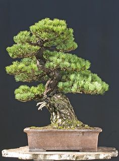 Japanese White Pine,Walter Pall Bonsai Adventures