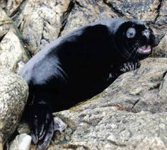 Melanistic seal pup in Shetland UK. Courtesy of Hillswick Wildlife