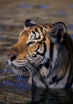 Indo-Chinese tiger (Panthera tigris corbetti). Captive, Phnom Tamao Wildlife…