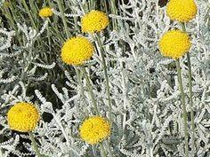 La santoline argentée, Santolina chamaecyparissus, est une plante plutôt basse (50 cm de hauteur au maximum), formant des touffes, et qui porte bien son nom : son feuillage aromatique, persistant, finement dentelé, est remarquable par ses tons gris qui mettent joliment en valeur les petites fleurs jaune vif, en pompons, qui s'épanouissent en été. Les jardins de bord de mer et des zones méditerranéennes pourront profiter de cette vivace décorative en toute saison dans les massifs, en bordure…