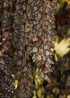 ~~The Local Hangout ~ Monarch Butterflies preparing for winter by Wildography - Barry Rowan~~