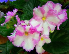 African Violet 'Candy Swirls' - standard with changeable pink and white blooms like look chimeric but are not.  Plant or leaves may be available.