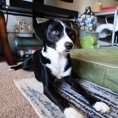 #🙄 #jet #dog #dogsofinstagram #puppy #puppiesofinstagram #mutt #muttsofinstagram #bordercollie #bordercolliesofinstagram #borderjack #rescuedog #adoptdontshop #bestwoof #borderfame #dog_features #sendadogphoto #pawsandpaws #pawsomemutts #mydogiscutest #ruffpost #worldofcutepets #dogsofinstaworld #AwDogs #showpetslove #snapwagdogs #sleepiest_dogs_in_all_the_land #GloriousPaws #ふわもこ部 #ボーダーコリー