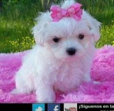 Precioso Bichón Maltés http://venta-mascotas.vivastreet.com.mx/comprar-mascota+fracc-la-hacienda/bichon-maltes-cachorros-perfectos-para-la-familia/48605607