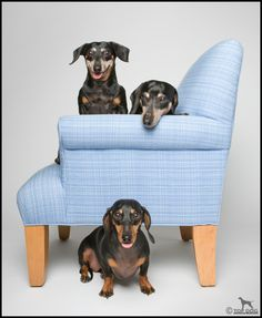 No one should have just one #Doxie Darlin' ♥ LOVE