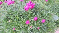 mój ogród warzywny: Dlaczego suszę kwiaty piwonii