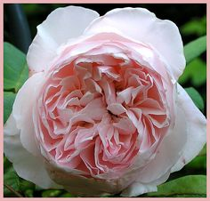St. Cecilia ~ English rose by David Austin