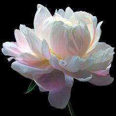 February 01 2019 at Amazing Flowers, Beautiful Roses, White Flowers, Beautiful Flowers, Piones Flowers, Peony Painting, Watercolor Flowers, Peony Flower, Flower Art
