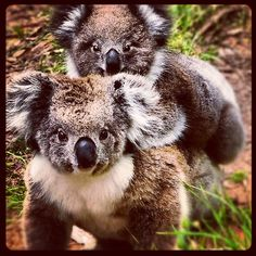 My photo of koalas at Cape Otway put through Instagram. See the rest of my photography portfolio on RedBubble: http://www.redbubble.com/people/felinemind