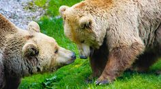Wildpark Grünau Brown Bear, Austria, Bears, Animals, Summer, Types Of Animals, Nature Animals, Recovery, Wild Animals