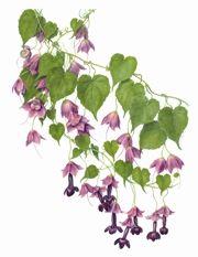 Rhodochiton atrosanguineus by Beverly Allen Botanical Flowers, Botanical Illustration, Botanical Prints, Floral Prints, Watercolour Art, Vintage Prints, Creative Art, Coloring, Creatures
