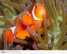 I used to have two that I named Rumpleteezer and Mungojerry. I miss those fish! Pretty Pictures, Best Funny Pictures, Star Wars 7, Challenge Accepted, Tropical Fish, Challenges, Clownfish, Animals, Painting