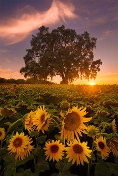 #beautyofnature #flowerfields #sunflowers