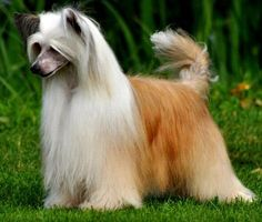Chinese Crested Pictures, Hairless and Powderpuff