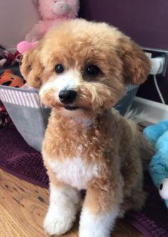 Bichon Poodle Puppies for Sale|Poochon|Dog Breeders|Iowa