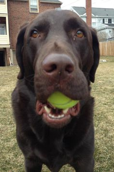 This is not my dog....but it could be.  My chocolate lab, Muddy, is OBSESSED with tennis balls.