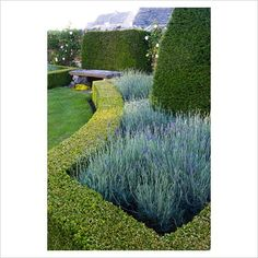 GAP Photos - Garden & Plant Picture Library - Parterre of Lavandula x chaytorae 'Sawyers', filled box edged beds containing yew obelisks and a yew 'cushion' behind a stone bench - Coastal garden, Devon - GAP Photos - Specialising in horticultural photography
