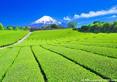 Tea Plantations and Mt. Fuji: Shizuoka Prefecture Shizuoka prefecture is number one for tea production in Japan. The contrast between green and blue is beautiful beyond words. Please check out our website for more photos of the superb scenery. Japanese Photography, Landscape Photography, Asia Travel, Japan Travel, Political Pictures, Japan Landscape, Shizuoka, Mount Fuji, Beautiful Places To Travel