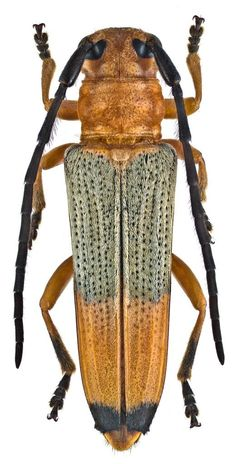 Longhorn Beetle, Bees And Wasps, Beetle Bug, Animal Species, Bugs And Insects, Animal Kingdom, Moth, Butterfly, Beetles