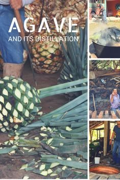 Mezcal vs Tequila : the Agave fight – The Spiriter