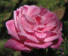 rose, pink, old fashion