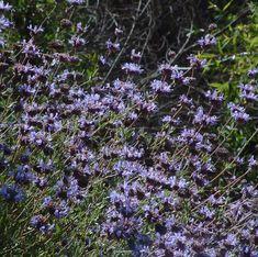 50 Best Drought Tolerant Hedge Ideas Images On Pinterest Garden Plants Hedges And Outdoor Plants