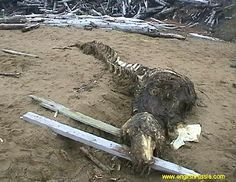 This creature was found by Russian soldiers on Sakhalin shoreline. Sakhalin area is situated near to Japan, it's the most eastern part of Russia, almost 5000 miles to East from Moscow. People don't know what is it. According to the bones and teeth – it is not a fish. According to its skeleton – it's not a crocodile or alligator. It has a skin with hair or fur. It has been said that it was taken by Russian special services for in-depth studies.