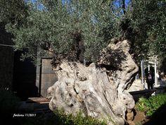 Mallorca -Valldemosa olivo, very old olive tree, by ferlomu, via Flickr