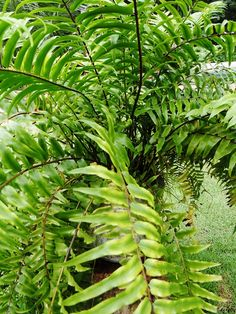 Samambaia; Pteridófita.A maior parte das espécies possui reprodução sexuada, porém, algumas podem se reproduzir assexuadamente através de brotamento.   - O sistema de transporte de seiva possibilita sustentação à planta;   - Possuem a capacidade de se desenvolverem sobre o tronco de árvores;   - Possuem caule, chamado de rizoma, muito parecido com uma raíz. postado por Rozivanda Nogueira